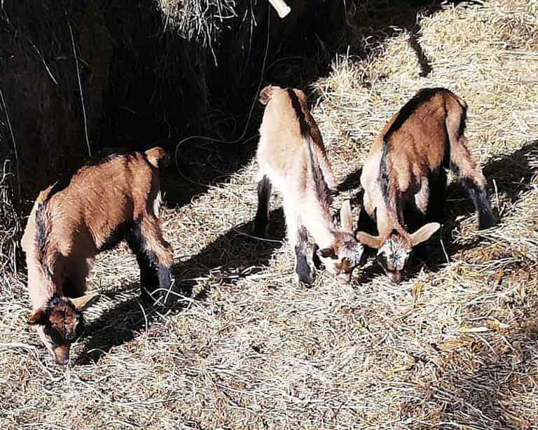 Imanje Hlišč koze